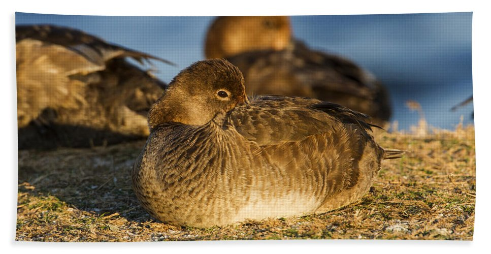 Doug Lloyd Bath Sheet featuring the photograph Female Readhead Duck by Doug Lloyd