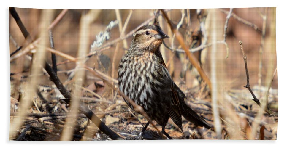 Red-winged Blackbird Bath Sheet featuring the photograph Female Red-winged Blackbird by Thomas Phillips