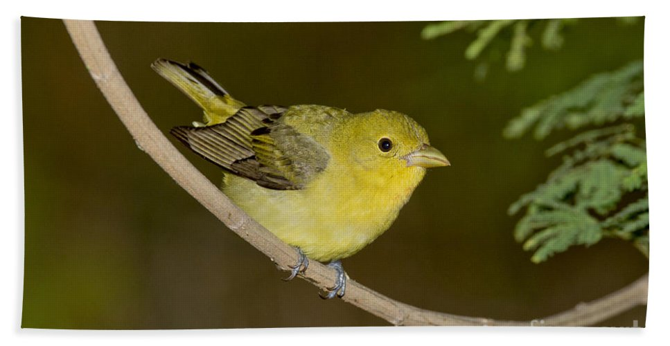 Scarlet Tanager Hand Towel featuring the photograph Female Scarlet Tanager by Anthony Mercieca