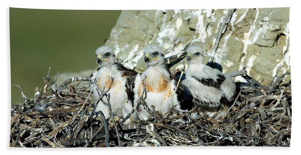 Animal Hand Towel featuring the photograph Ferruginous Hawk Chicks In Nest by Anthony Mercieca