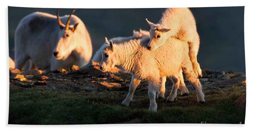 Mountain Goats. Mountain Goat Kids Hand Towel featuring the photograph Fiddle Faddle by Jim Garrison