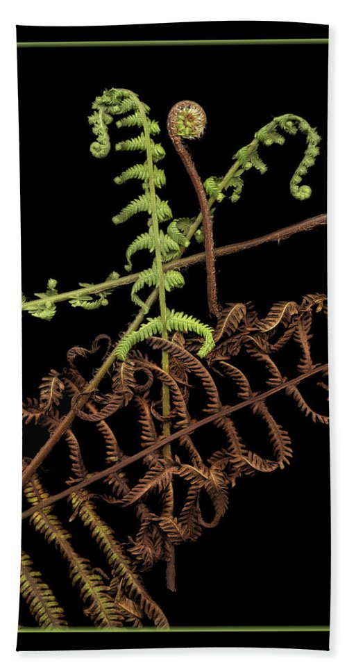 Fiddle Hand Towel featuring the photograph Fiddlehead Ferns 2 by Marilyn Hunt