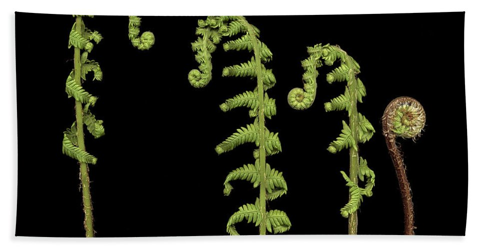 Fiddle Hand Towel featuring the photograph Fiddlehead Ferns by Marilyn Hunt