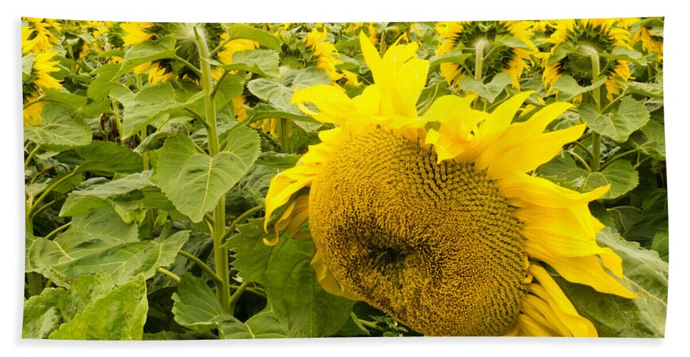 Agricultural Bath Sheet featuring the photograph Field Of Blooming Yellow Sunflowers To Horizon by Stephan Pietzko