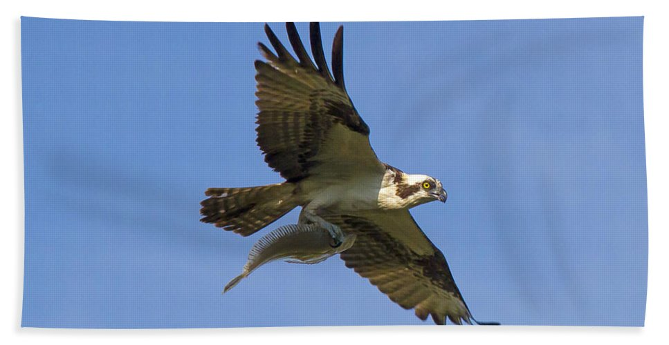 Osprey Hand Towel featuring the photograph Fish For Dinner by David Freuthal