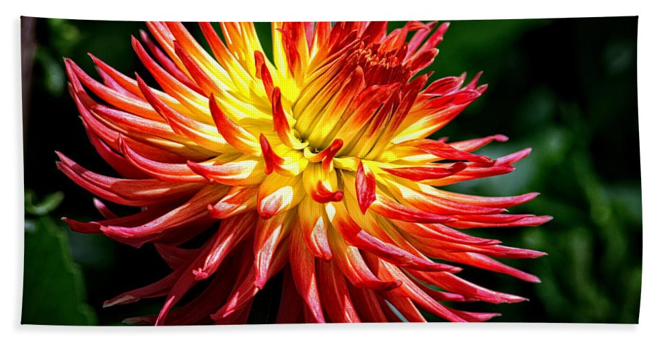 Yellow And Red Dahlia Hand Towel featuring the photograph Flame Tips by Tikvah's Hope