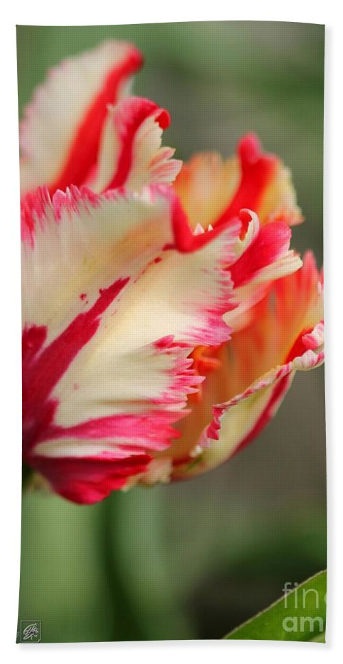 Mccombie Hand Towel featuring the photograph Flaming Parrot Tulip by J McCombie
