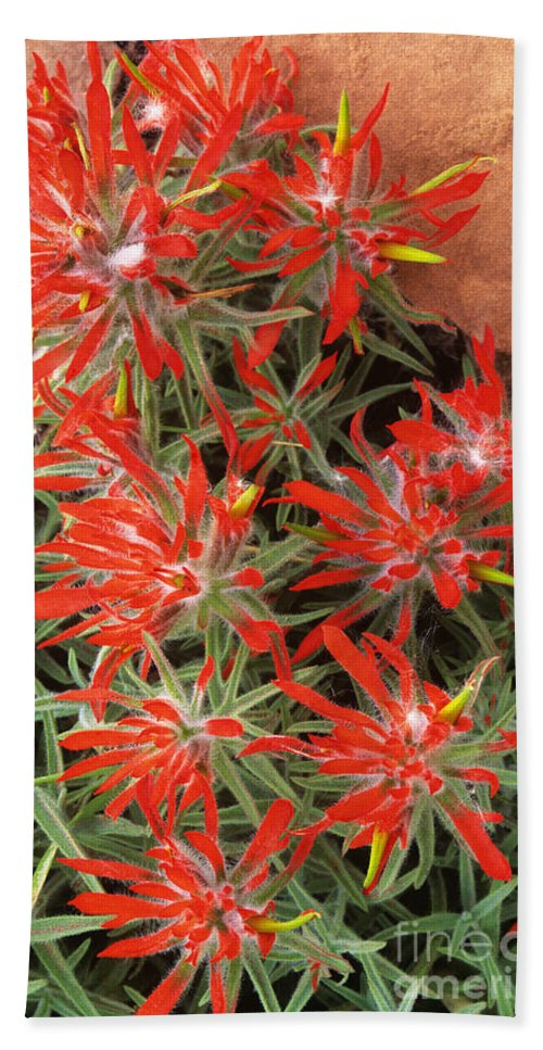Zion Paintbrush Bath Towel featuring the photograph Flaming Zion Paintbrush Wildflowers by Dave Welling