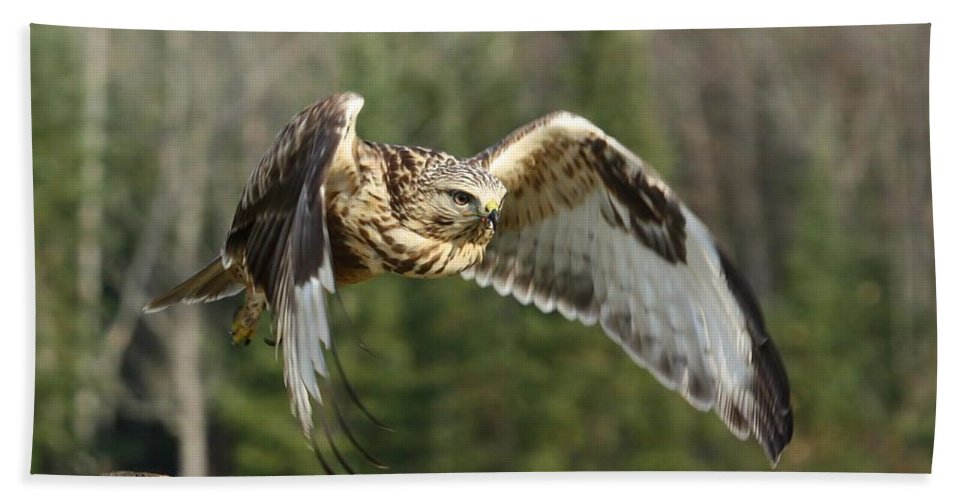 Rough-legged Hawk Hand Towel featuring the photograph Flight Of The Well-fed by Teresa McGill