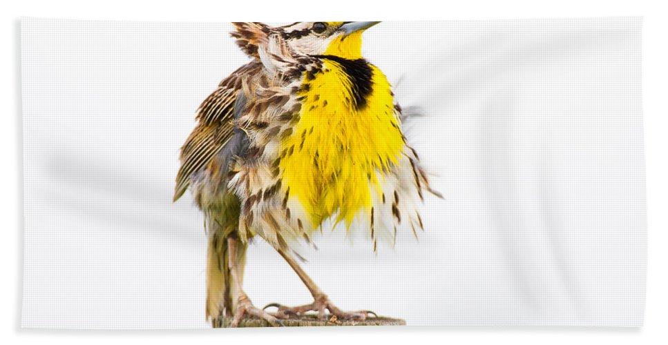 Eastern Meadowlark Hand Towel featuring the photograph Flluffy Meadowlark by Bill Swindaman
