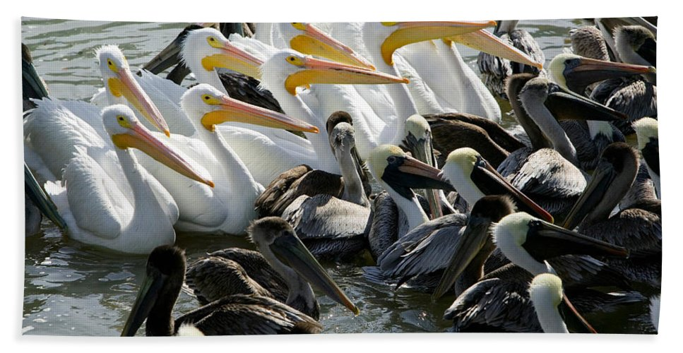 Photography Bath Sheet featuring the photograph Flock Of Pelicans In Water, Galveston by Panoramic Images