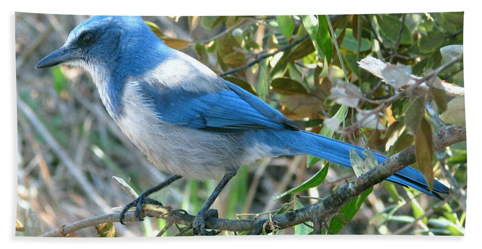 Nature Hand Towel featuring the photograph Florida Scrub Jay by Peg Urban
