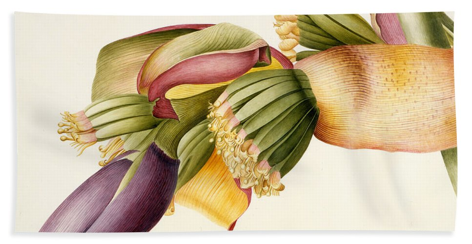 Ehret Hand Towel featuring the painting Flower Of The Banana Tree by Georg Dionysius Ehret