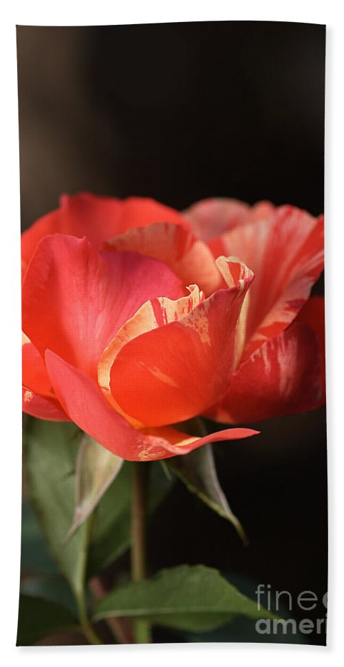 Flower Hand Towel featuring the photograph Flower-tri Toned-rose by Joy Watson