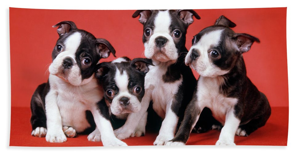 Photography Bath Towel featuring the photograph Four Boston Terrier Puppies On Red by Vintage Images