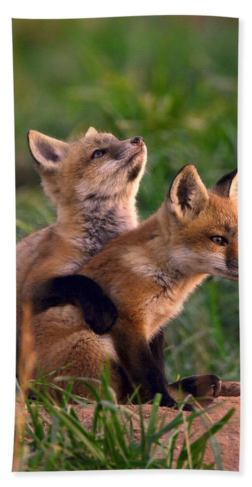 Fox Hand Towel featuring the photograph Fox Cub Buddies by William Jobes