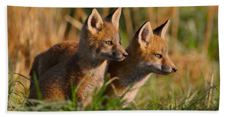 Fox Bath Sheet featuring the photograph Fox Cubs At Sunrise by William Jobes