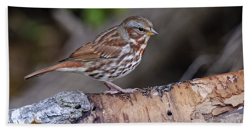 Fox Sparrow Hand Towel featuring the photograph Fox Sparrow Pictures 16 by World Wildlife Photography