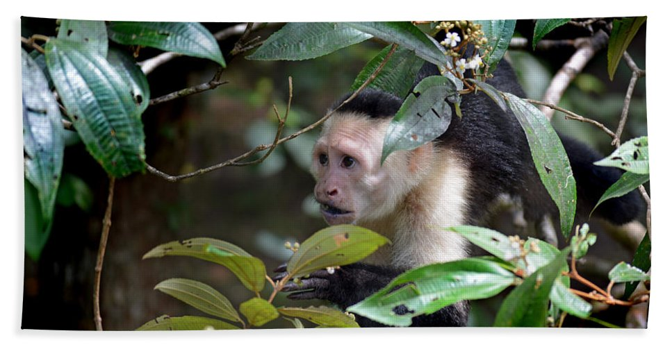 White-faced Capuchin Monkeys Framed Prints Hand Towel featuring the photograph Friars Minor by Gary Keesler