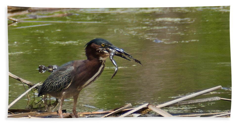 Spring Bath Sheet featuring the photograph Frog Legs And Green Heron by Edward Peterson