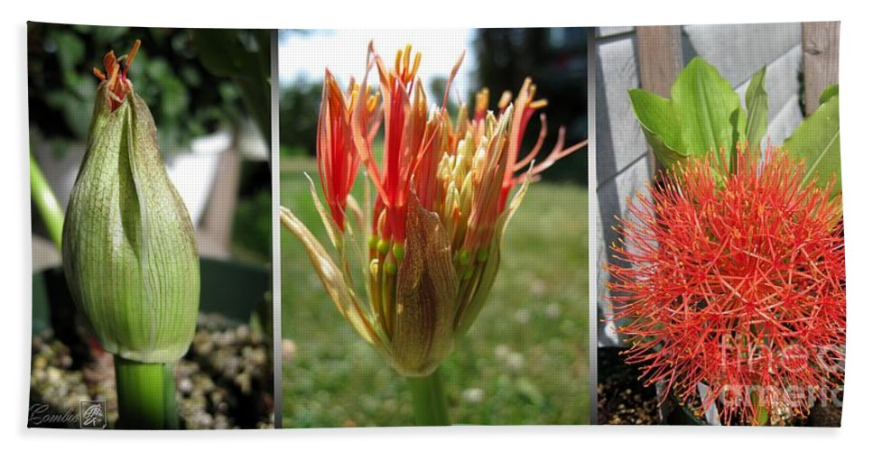 African Bath Sheet featuring the photograph From Bud To Bloom - African Blood Lily by J McCombie