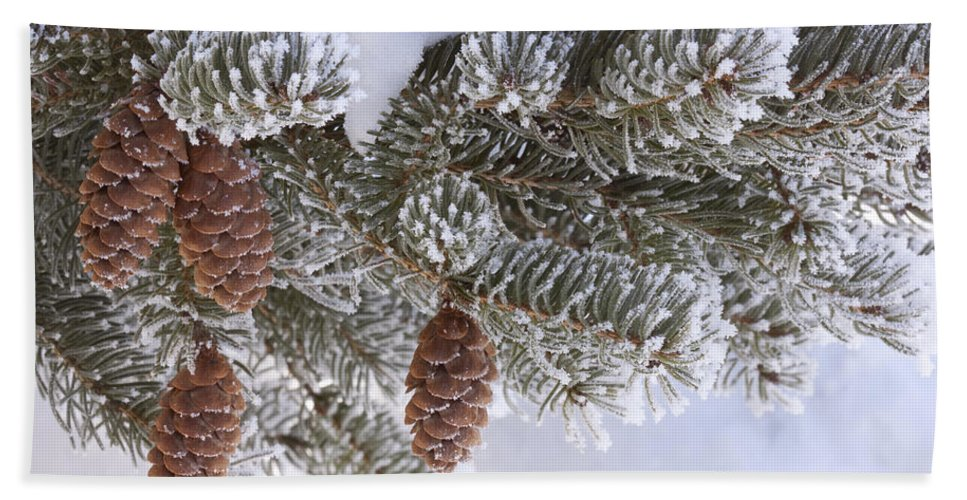 Tree Bath Sheet featuring the photograph Frosted Pine Tree And Cones 1 by John Brueske