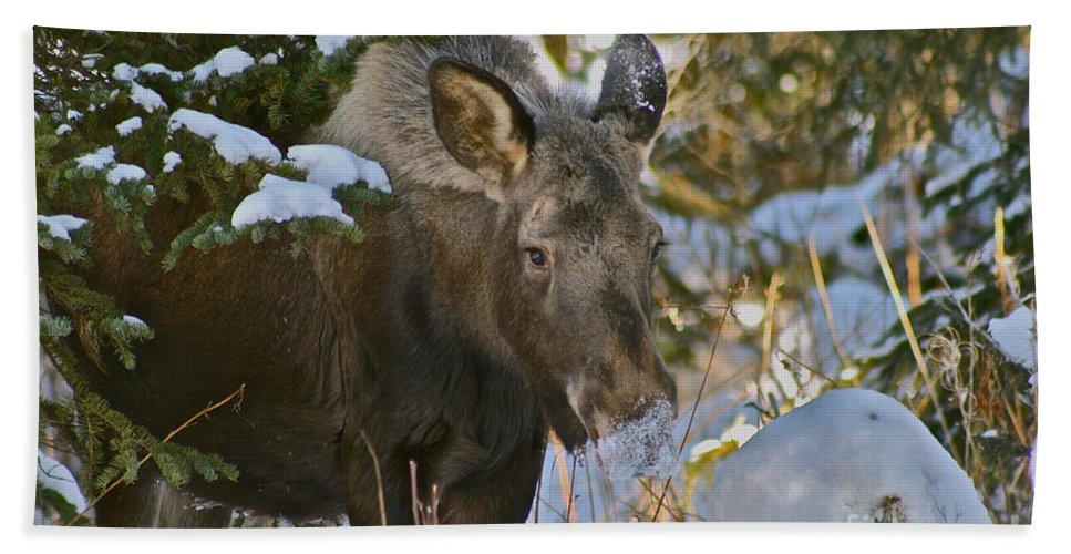 Moose Bath Towel featuring the photograph Frosty Nose by Rick Monyahan