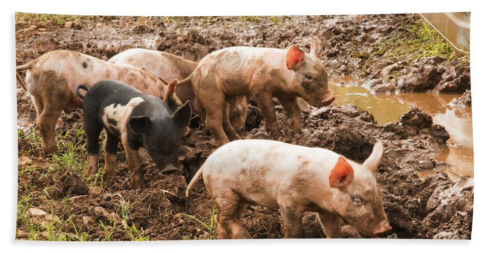Pig Farm Williamson County Texas Pigs Farms Animal Animals Creature Creatures Piglet Piglets Hand Towel featuring the photograph Fun In The Mud by Bob Phillips