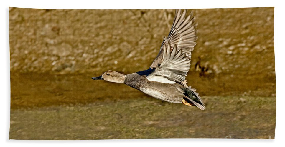 Animal Hand Towel featuring the photograph Gadwall Drake In Flight by Anthony Mercieca