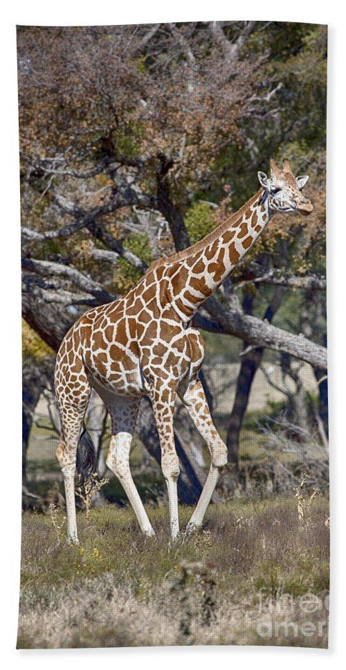 Galloping Hand Towel featuring the photograph Galloping Giraffe by Douglas Barnard