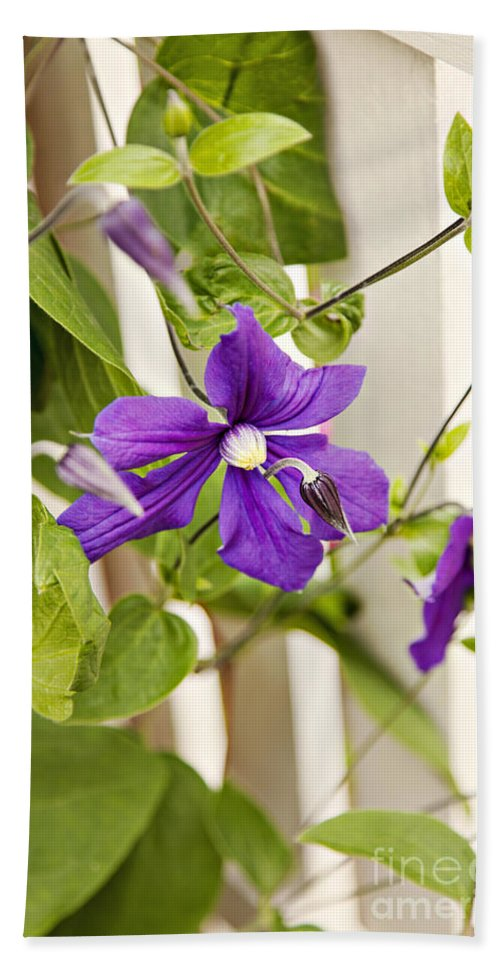 Fence Hand Towel featuring the photograph Garden Clematis by Sophie McAulay