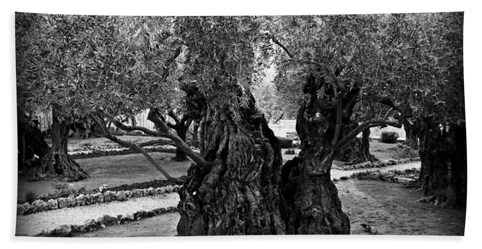 Garden Of Gethsemane Bath Sheet featuring the photograph Garden Of Gethsemane Olive Tree by Stephen Stookey