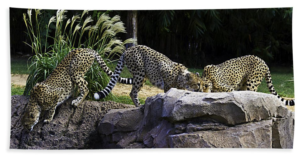 Tigers Hand Towel featuring the photograph Gathering by Ken Frischkorn