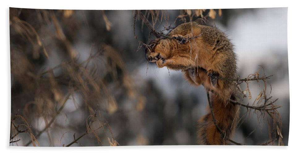 Grey Squirrel Bath Sheet featuring the photograph George Eating Maple Seeds In Winter by Onyonet Photo Studios