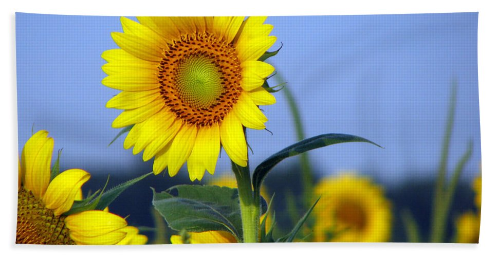 Sunflower Bath Sheet featuring the photograph Getting To The Sun by Amanda Barcon