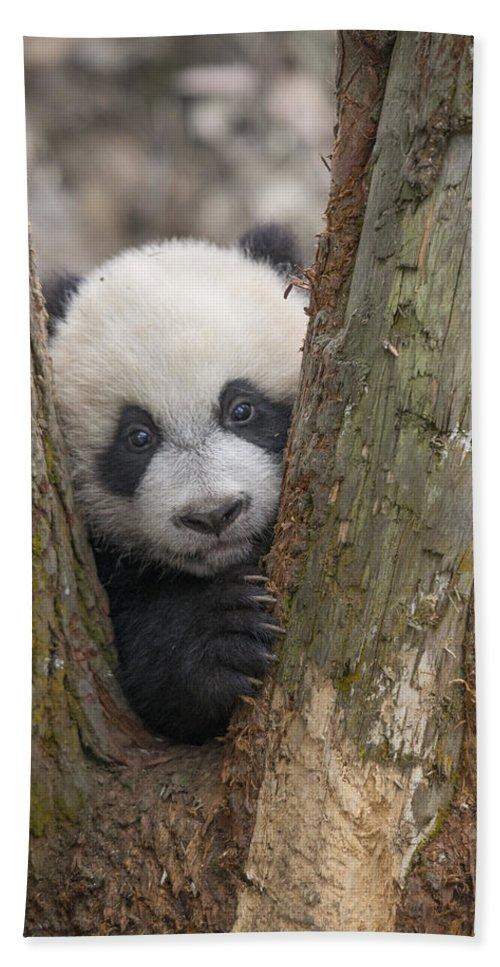 Katherine Feng Bath Towel featuring the photograph Giant Panda Cub Bifengxia Panda Base by Katherine Feng
