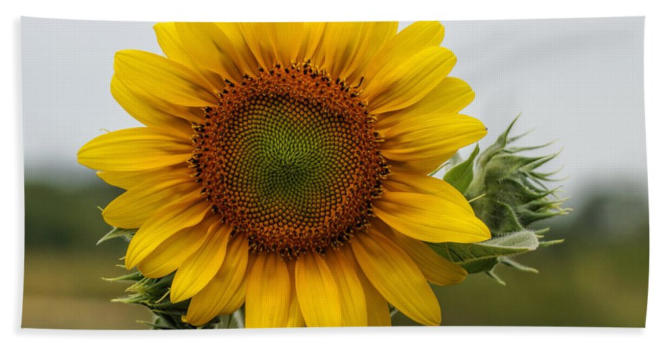 Sunflower Hand Towel featuring the photograph Giant Sunflower by Alan Hutchins