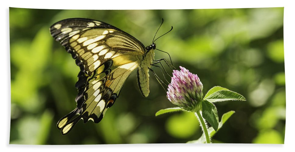 Giant Swallowtail Hand Towel featuring the photograph Giant Swallowtail On Clover 2 by Thomas Young