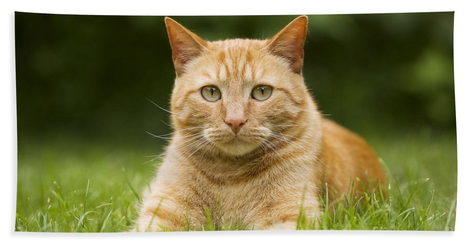Cat Bath Sheet featuring the photograph Ginger Cat In Garden by Jean-Michel Labat