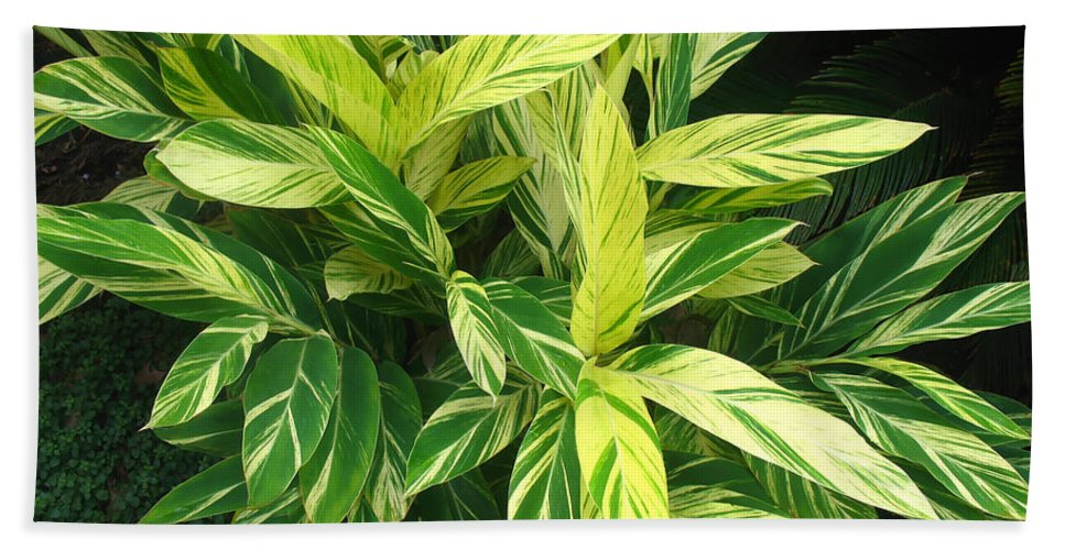 Ginger Lily Bath Sheet featuring the photograph Ginger Lily. Alpinia Zerumbet by Connie Fox