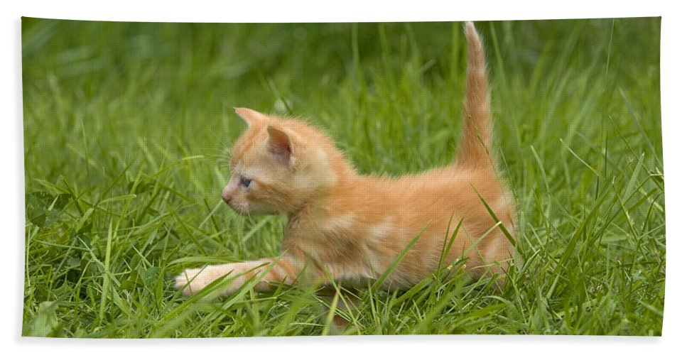Cat Bath Sheet featuring the photograph Ginger Tabby Kitten by Jean-Michel Labat
