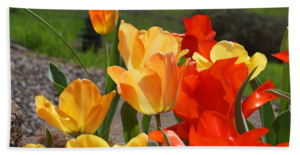 Red Bath Towel featuring the photograph Glowing Sunlit Tulips Art Prints Red Yellow Orange by Baslee Troutman
