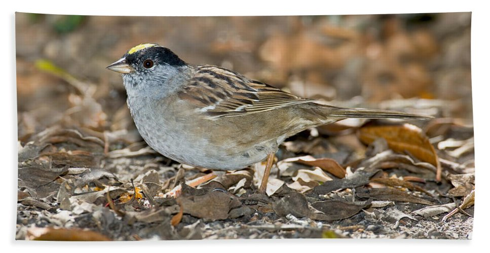 Fauna Hand Towel featuring the photograph Golden-crowned Sparrow by Anthony Mercieca