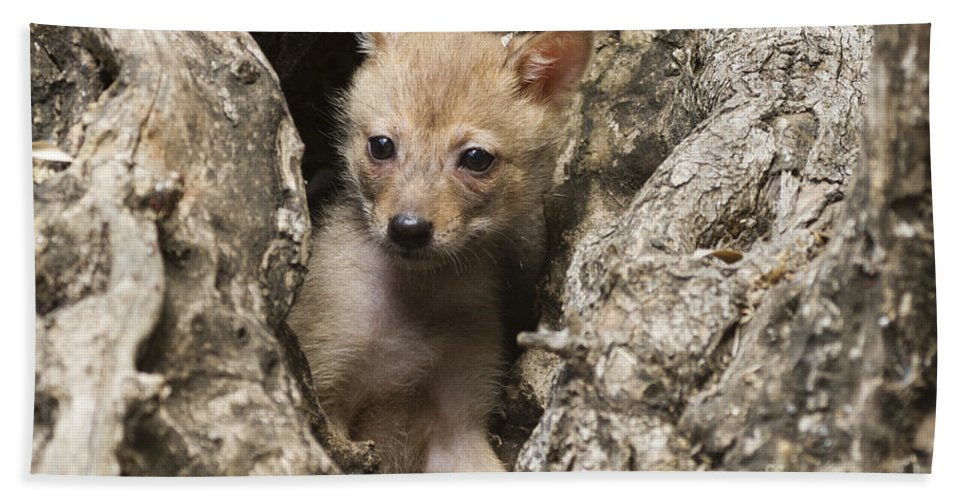 Golden Jackal Hand Towel featuring the photograph Golden Jackal Canis Aureus Cubs 2 by Eyal Bartov
