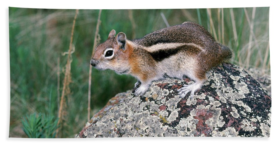 Fauna Hand Towel featuring the photograph Golden Mantled Ground Squirrel by Anthony Mercieca