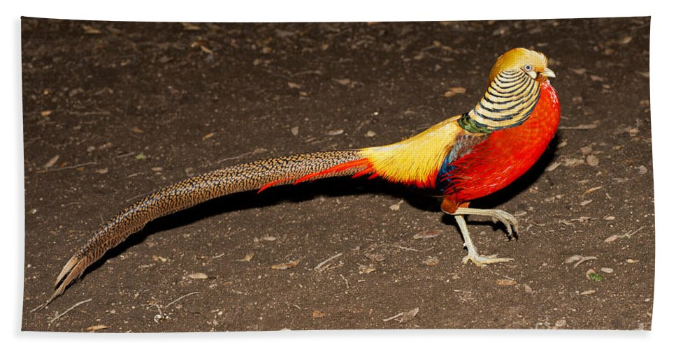 Animal Hand Towel featuring the photograph Golden Pheasant Male by Anthony Mercieca