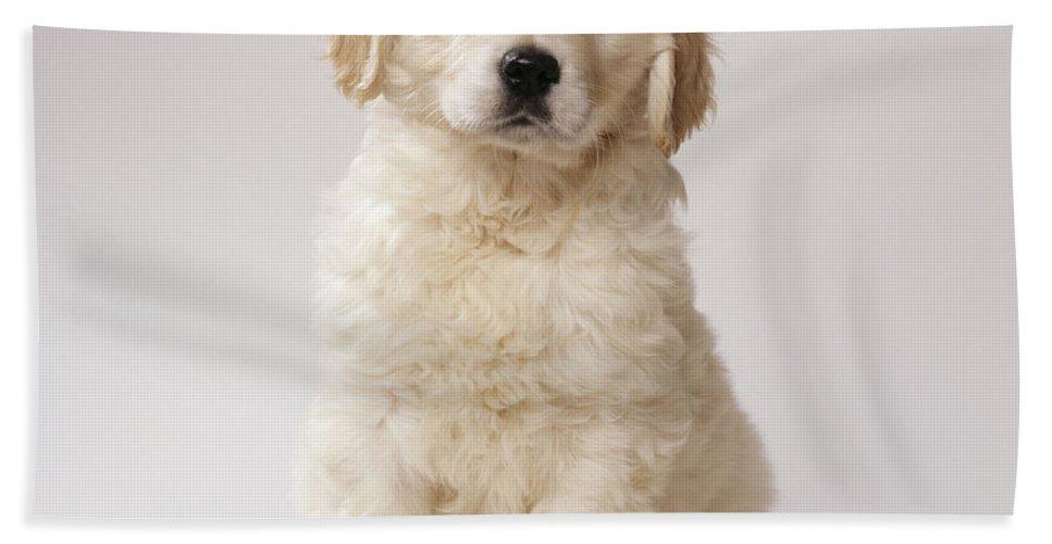 Golden Retriever Bath Sheet featuring the photograph Golden Retriever Puppy by John Daniels