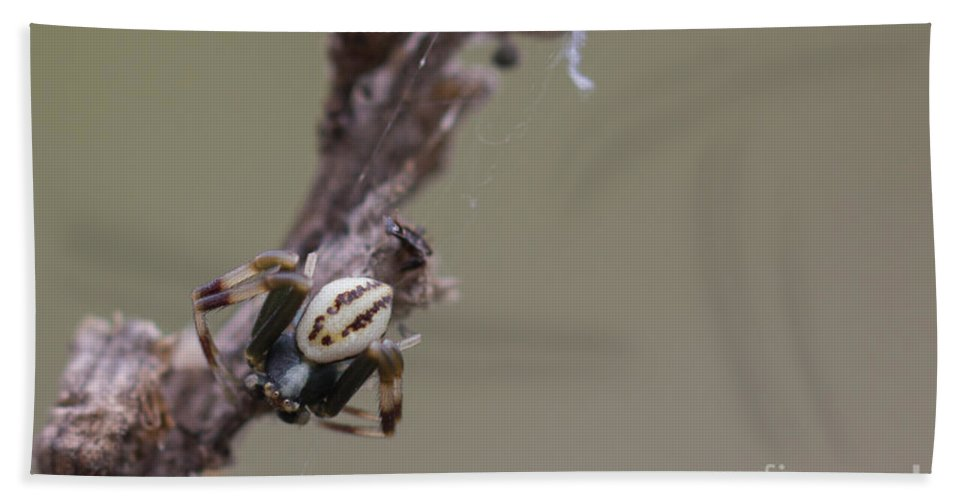 Bulgaria Bath Sheet featuring the photograph Goldenrod Crab Spider Male by Jivko Nakev