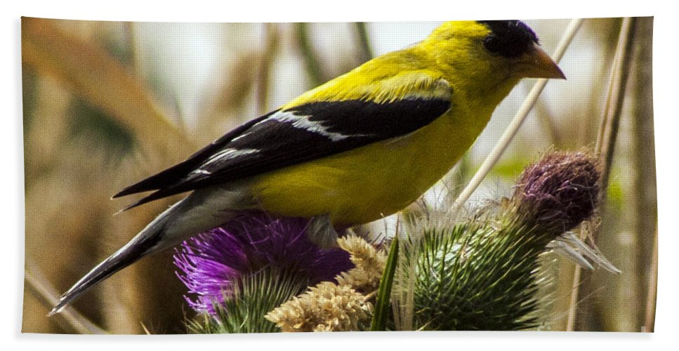 Goldfinch Bath Sheet featuring the photograph Goldfinch Atop A Purple Thistle by Darleen Stry