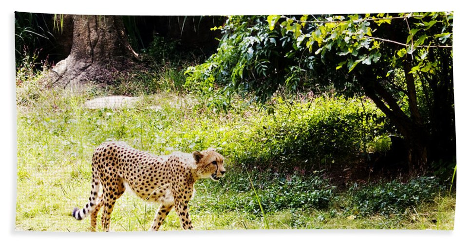Cheetah Bath Sheet featuring the photograph Gone In 3 Seconds 1 by Walter Herrit